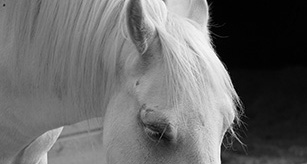 small-white-horse-head-new