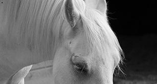 small-white-horse-head-new