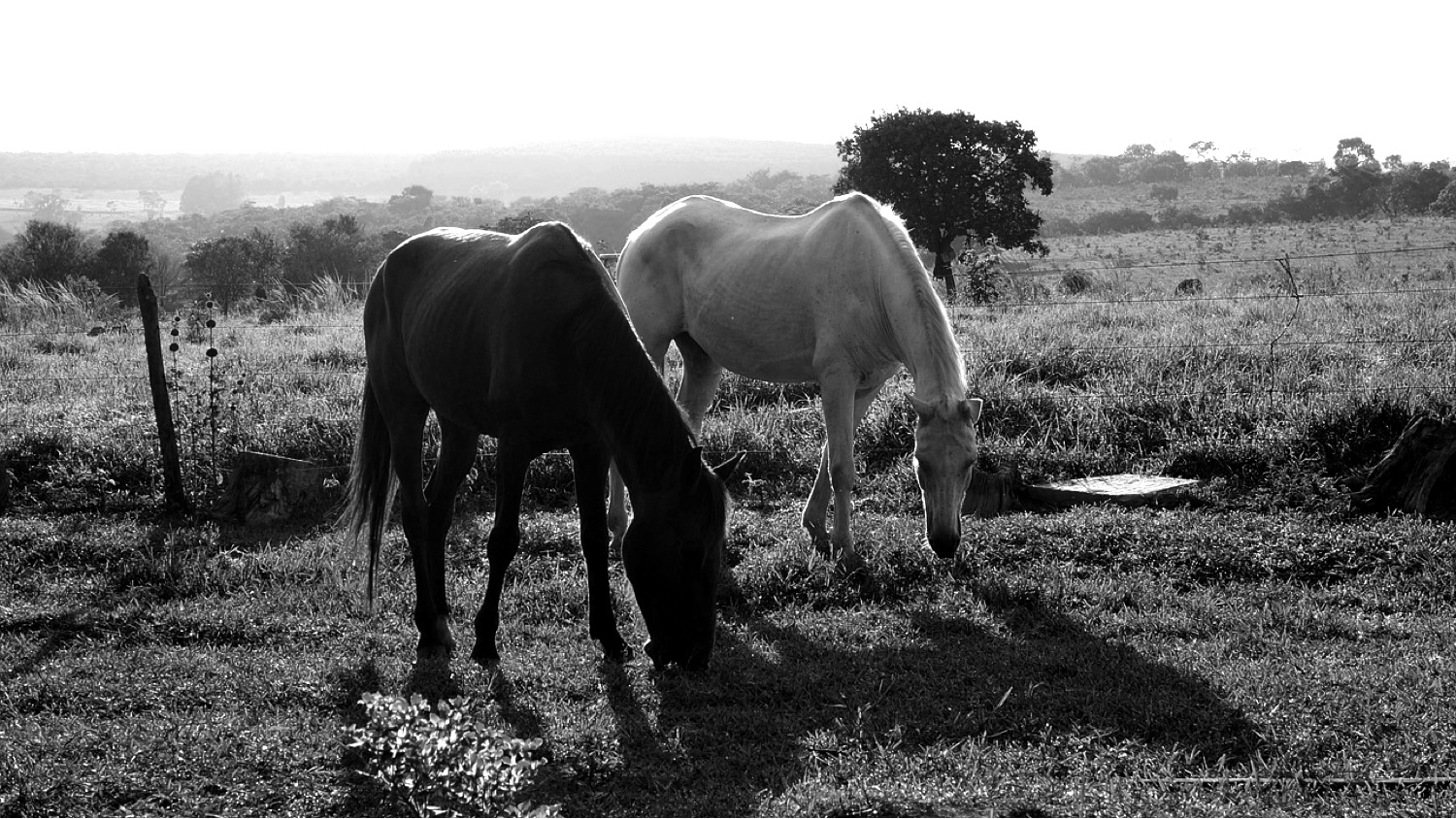 two-horses-grazing-copy